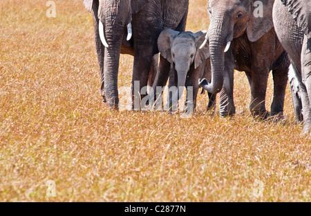 African Elephant Cows and Calf,  Loxodonta africana, Masai Mara National Reserve, Kenya, East Africa - Stock Photo