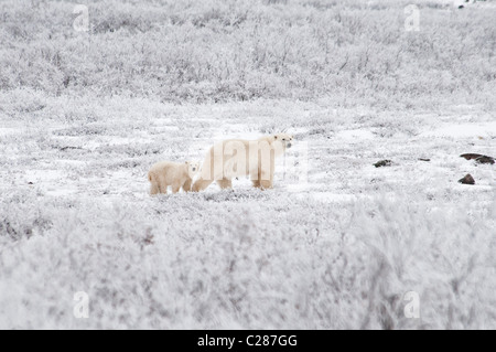 Polar Bear Mother with Coy, Ursus maritimus, Wapusk National Park, near Hudson Bay, Cape Churchill, Manitoba, Canada - Stock Photo
