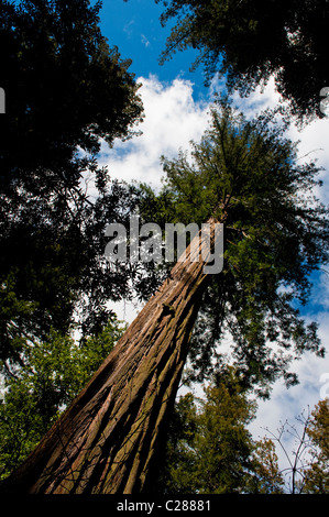 A huge redwood tree seen in Big Basin Redwoods State Park near Boulder Creek, California. - Stock Photo