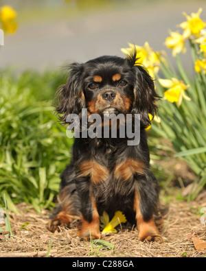 cavalier king charles spaniel sitting in daffodils - Stock Photo
