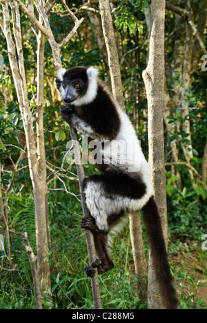 Black and white ruffed lemur, Lemurs Island, Andasibe, Madagascar - Stock Photo