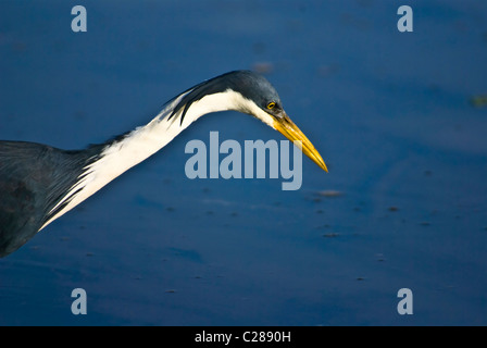 An elegant pied heron stalks fish whilst hunting in a still wetland. - Stock Photo
