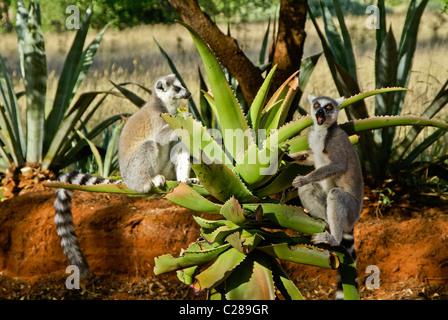 Ring-tailed lemurs feeding on aloe plant, Madagascar - Stock Photo