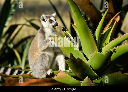 Ring-tailed lemur feeding on aloe plant, Madagascar - Stock Photo