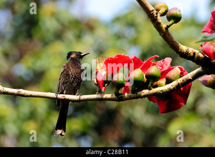 A Red-vented Bulbul (Nightingale) sitting on a Silk-cotton tree branch with red flowers in early morning spring - Stock Photo