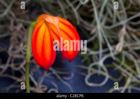 Red and orange orchid (Masdevallia ignea), a species native to Columbia. - Stock Photo