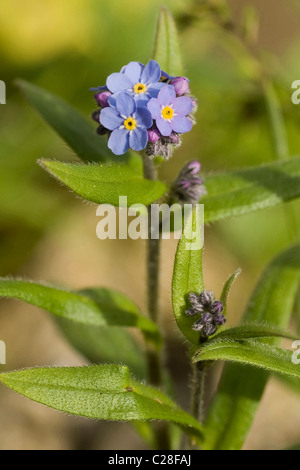 Alpine Forget-me-not (Myosotis alpestris), flowering stalks. - Stock Photo