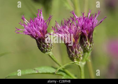 Dyers Plumeless Saw Wort, Saw Wort (Serratula tinctoria), flowers. - Stock Photo