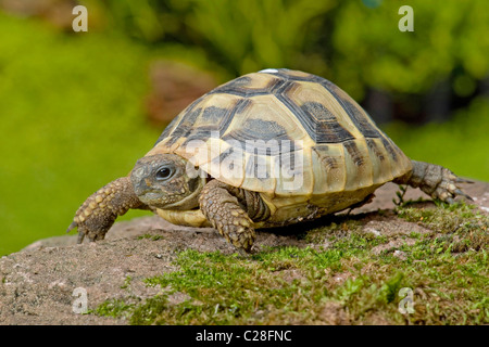 Western Hermanns Tortoise, Greek Tortoise (Testudo hermanni hermanni) on a rock. - Stock Photo