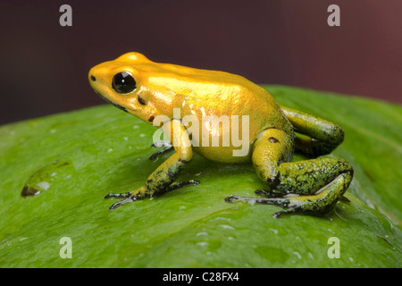 Black-legged Dart Frog (Phyllobates bicolor) on a leaf. - Stock Photo