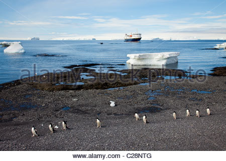 Adelie penguins walk along a rocky shore on an ice strewn coastline. - Stock Photo
