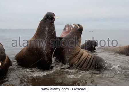 A pair of Atlantic walrus bulls sparring. - Stock Photo