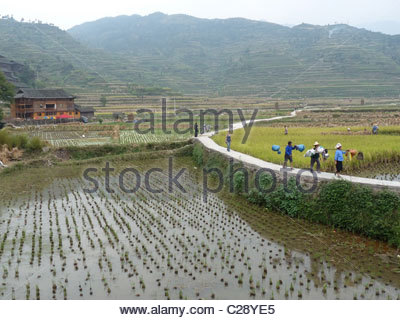 Farm workers head home after a day working in the rice paddies. - Stock Photo