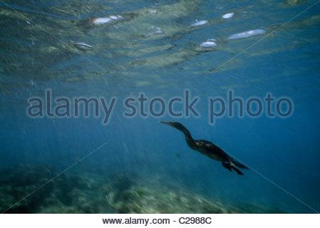 A flightless cormorant swimming underwater. - Stock Photo