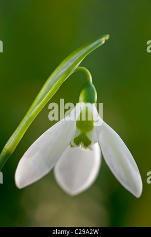 snowdrop Galanthus elwesii late winter early Spring flower bulb February white garden plant close-up flowers - Stock Photo