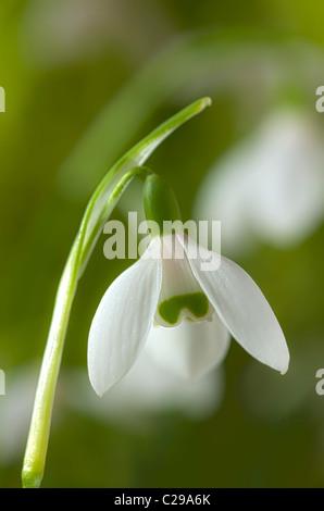 snowdrop Galanthus elwesii late winter early Spring flower bulb February white garden plant - Stock Photo