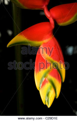 Lobster claw or false-bird-of-paradise, Heliconia rostrata, flower. - Stock Photo