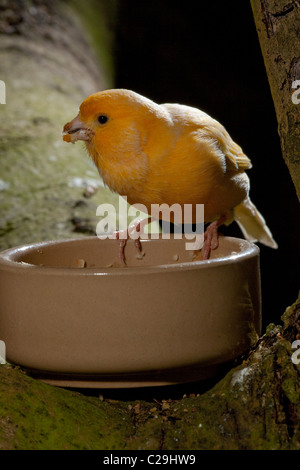 Canary (Serinus canaria). Breed; Fife. Adult at feeding bowl collecting 'soft' food for chicks. - Stock Photo