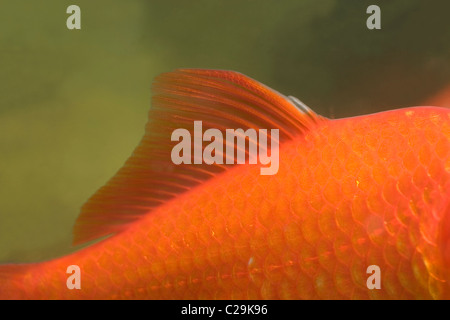 Goldfish Carassius auratus. Showing dorsal fin and lateral line running along length of body flank. Head end right. - Stock Photo