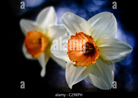 Stunning daffodils (NARCISSUS GERANIUM)  in spring, UK - Stock Photo