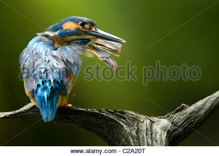 An adult male common kingfisher, Alcedo atthis, preening. - Stock Photo