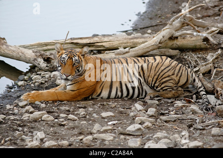 A Bengal Tiger resting on the edge of a lake in summers at Ranthambore Tiger Reserve, Rajasthan India. ( Panthera - Stock Photo