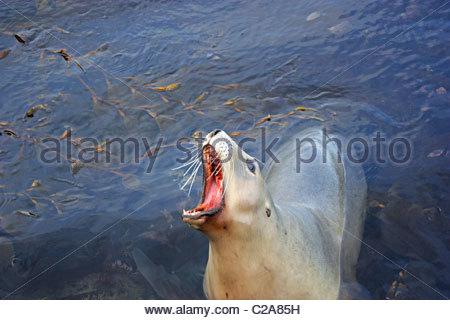 Hooker's sea lion, Phocarctos hookeri, vocalizing. - Stock Photo