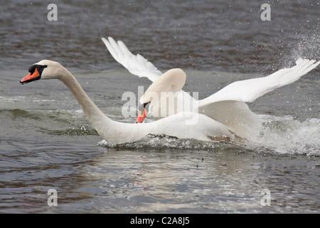Mute swans in territorial dispute on lagoon-Victoria, British Columbia, Canada. - Stock Photo