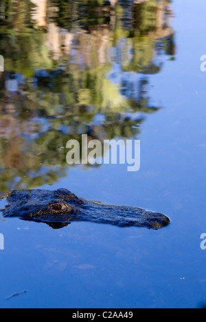 American Alligator  partially submerged in the waters of Homosassa Springs, Homosassa State Wildlife Park. - Stock Photo