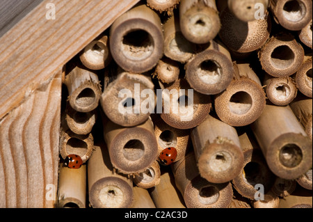 Two Seven-Spot Ladybirds, Coccinella 7-punctata, on an insect house - Stock Photo