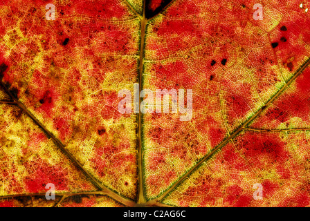 Closeup of a red and yellow leaf - Stock Photo