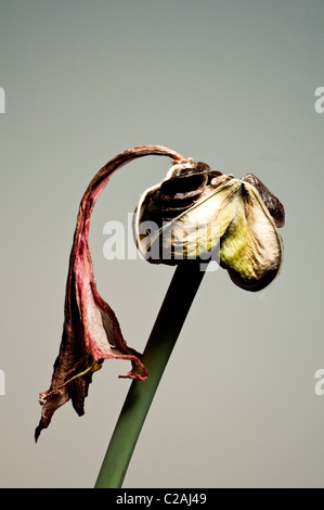 A seed pod of an Amaryllis (Hippeastrum) and a dried flower petal at the end of the spike. - Stock Photo