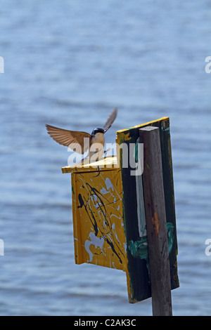 A Tree Swallow, Tachycineta Bicolor, landing at its nesting box. - Stock Photo
