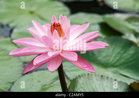 A spa like pink water lily in a Hawaiian pond sitting beautifully above the lily pads. It's Latin name is Nymphaeaceae. - Stock Photo