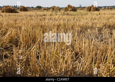 Harvested wheatfield - Stock Photo