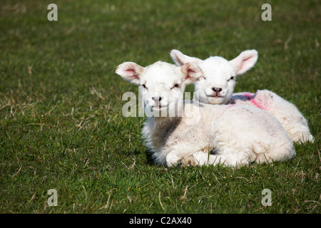Pair of young lambs looking at photographer on Lundy Island, Devon, England UK in March - Stock Photo