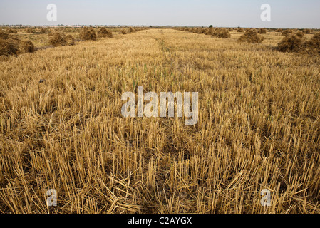 Harvested weatfield - Stock Photo
