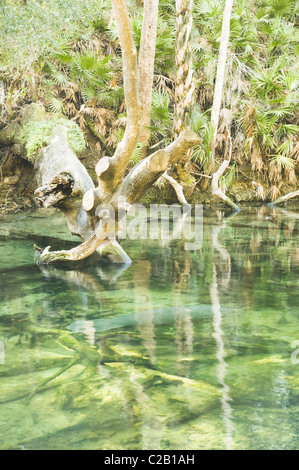 Manatee swimming in Blue Spring State Park, Florida, USA - Stock Photo