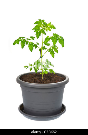 tomato plant flowerpot flower pot plastic container earth soil grow growing green ecologically ecological eco clay - Stock Photo