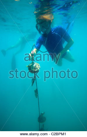 A diver checks a black pearl oyster line at the Havaiki Guest House. - Stock Photo