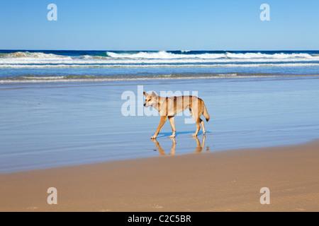 Wild Dingo Fraser Island Queensland Australia - Stock Photo