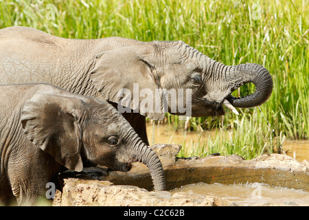Two Young Elephants drinking at a watering hole in Aberdares, Kenya - Stock Photo