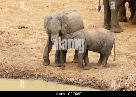 Two Young Elephants drinking at a  hole in Aberdares, Kenya - Stock Photo