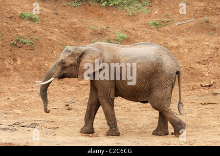 An African Elephant at a watering hole in Kenya - Stock Photo