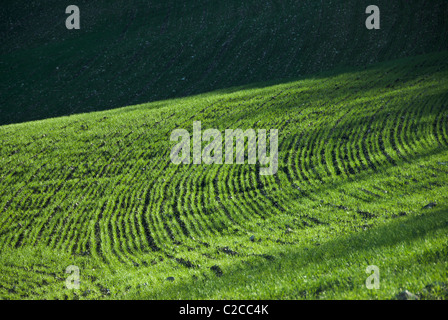 Green curved lines of grain sprouts in an open field - Stock Photo