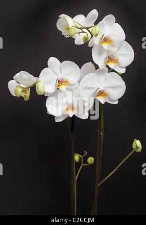 White moth orchids, Phalaenopsis sp. - Stock Photo