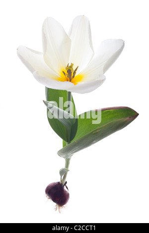 exotic emperor tulip isolated on white background - Stock Photo