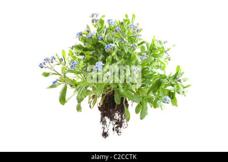 myosotis sylvatica forget me knot plant on isolated white background - Stock Photo