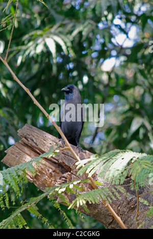 A House crow, Corvus Splendens is seating on a Tree, India - Stock Photo