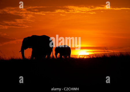 African elephants silhouetted in sunset - Stock Photo